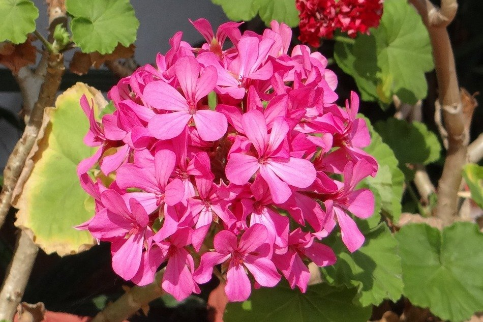 Lush pink geranium in the sunlight
