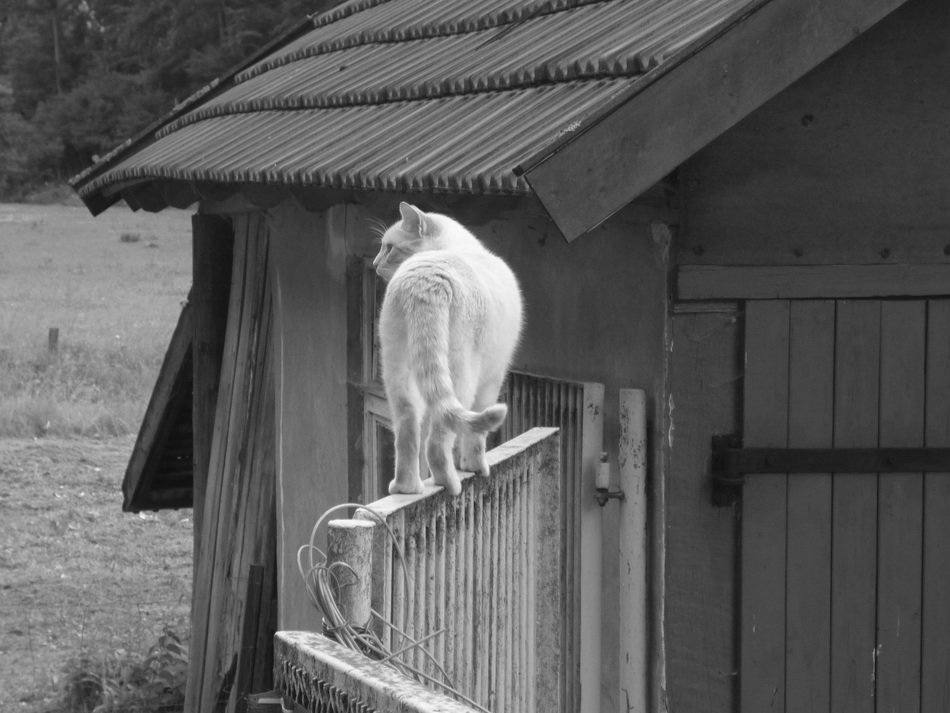 cat on the garden gate in black and white
