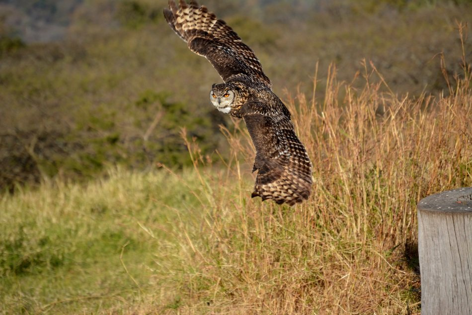 owl flying over grass field