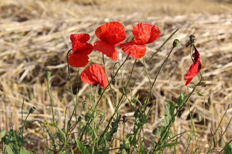 red poppy among dry grass