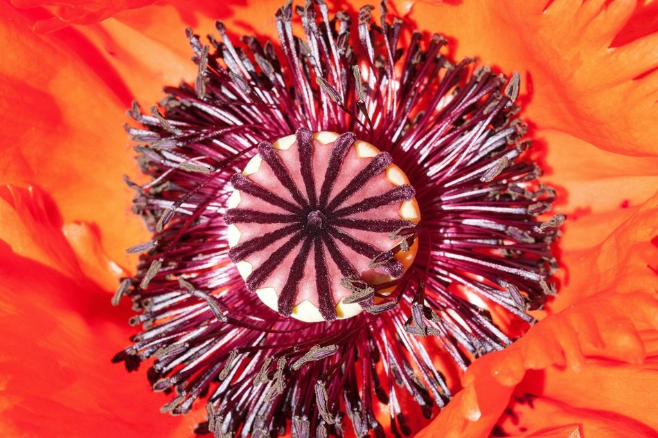 ornamental red poppies