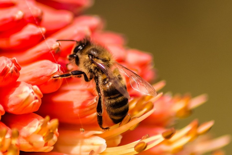 bee collects flower pollen