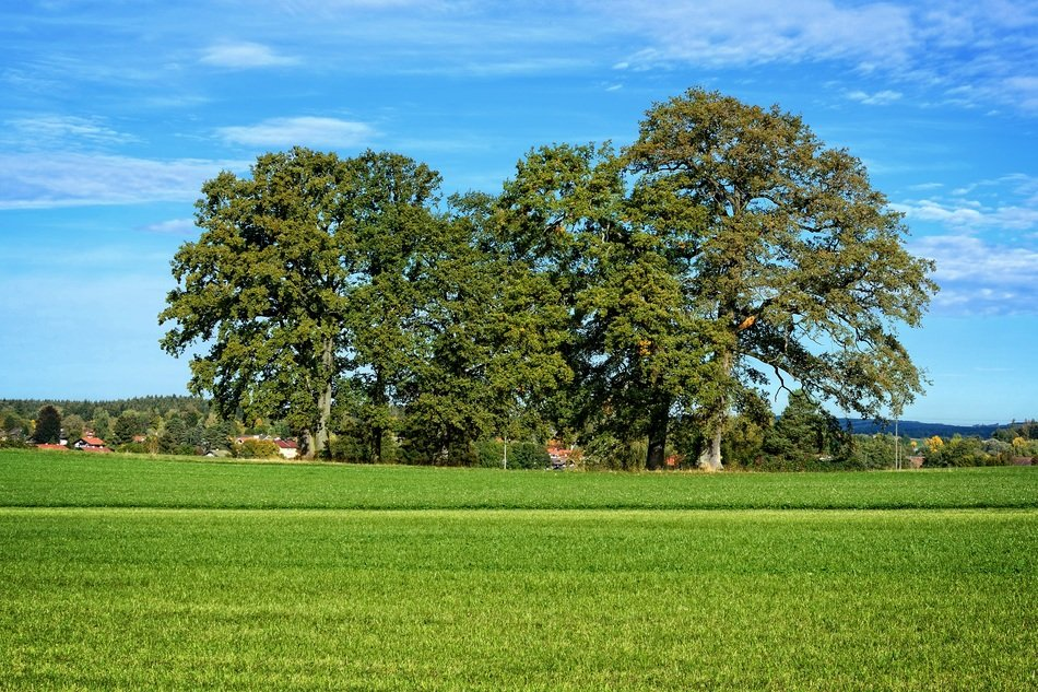 big trees among green field