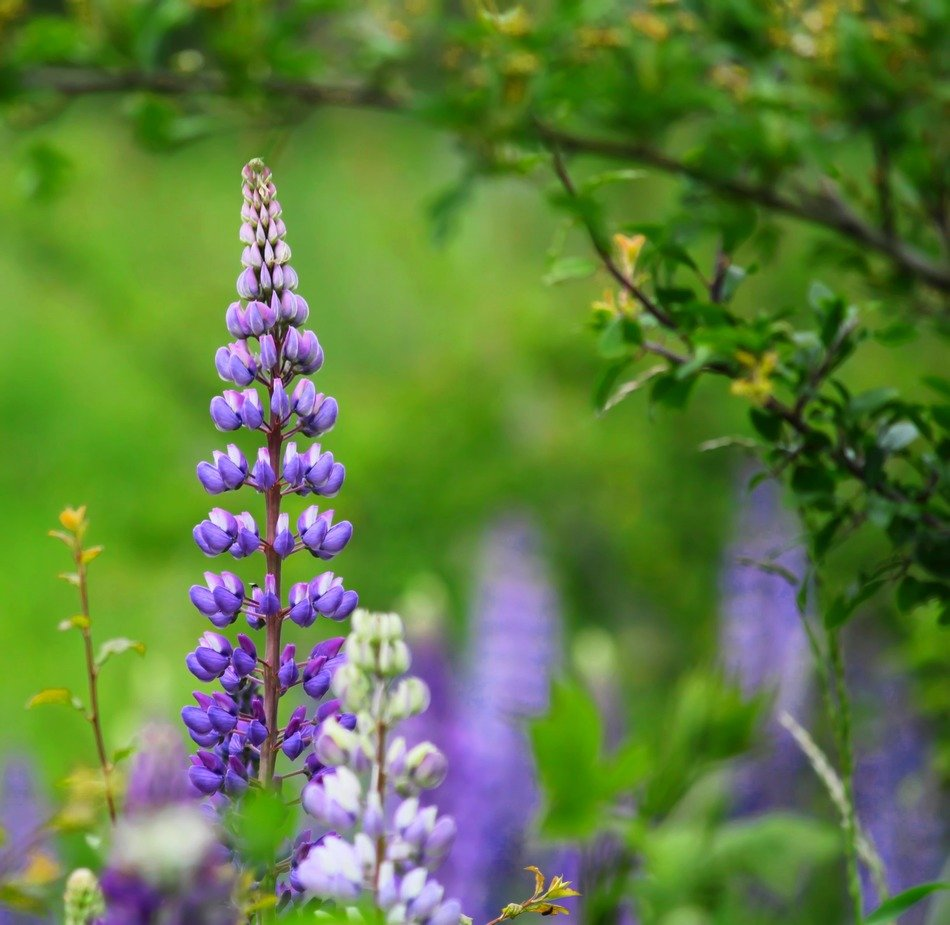 purple lupine on a background of green meadow