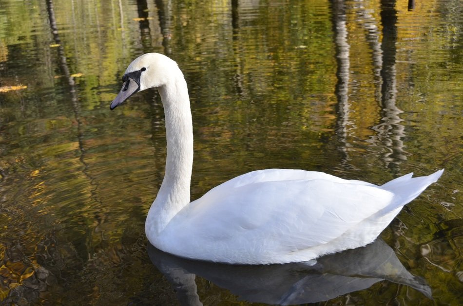 white swan on the pond