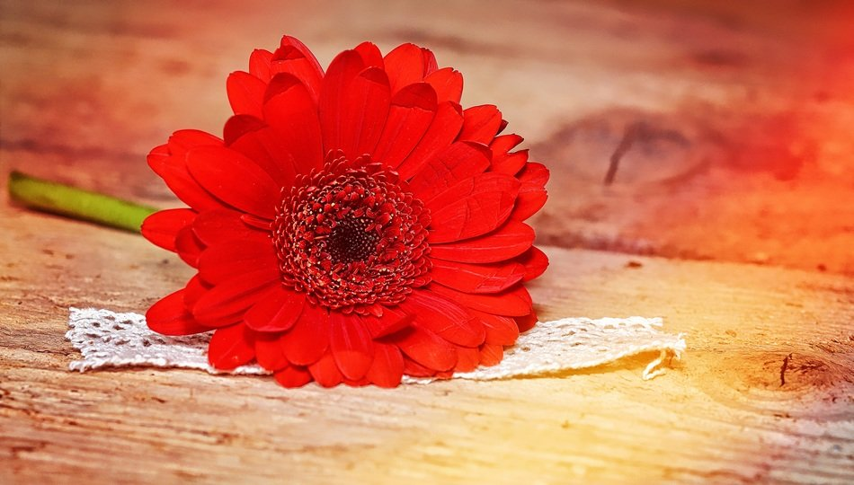 red gerbera on a wooden surface close up