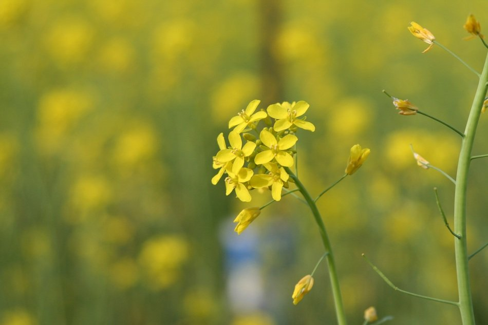yellow flowers of the mustard