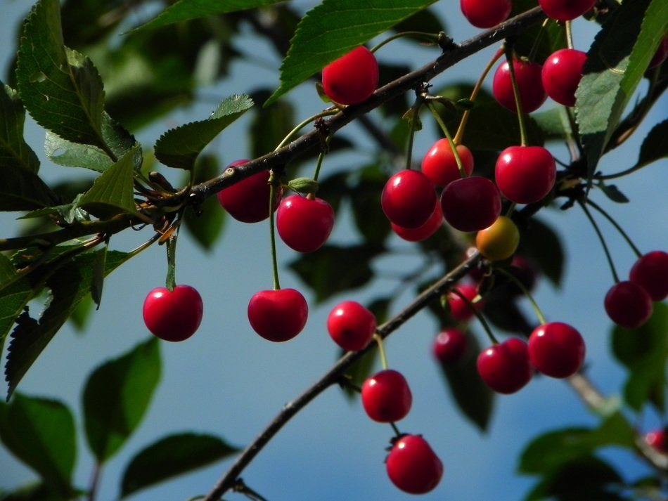sour morello cherries on a tree close up