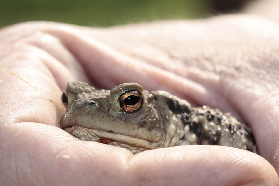 Frog in hand closeup