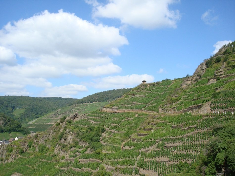 Landscape of green vineyards on a hill