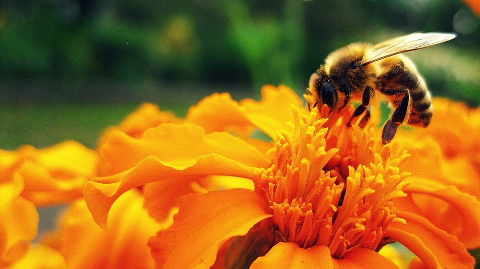 bee collects nectar from an orange flower in a flowerbed