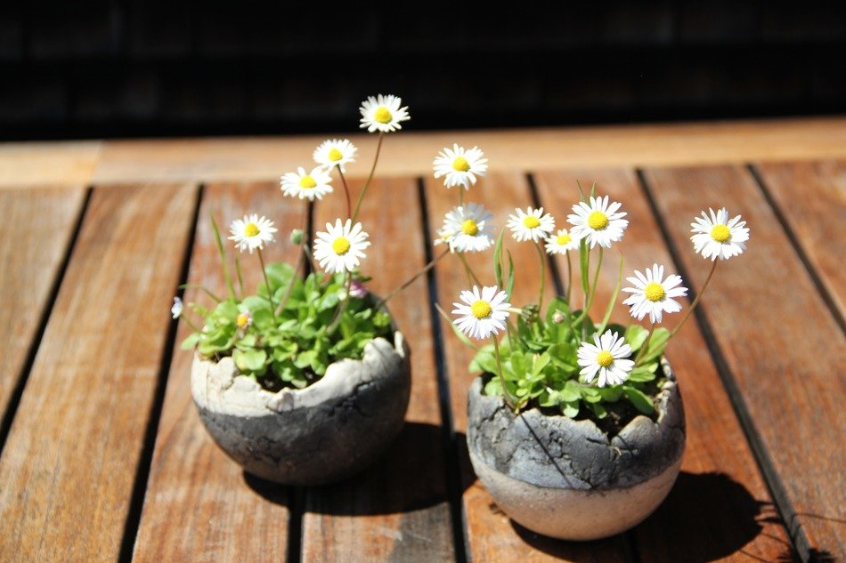 picture of the potted daisy flowers