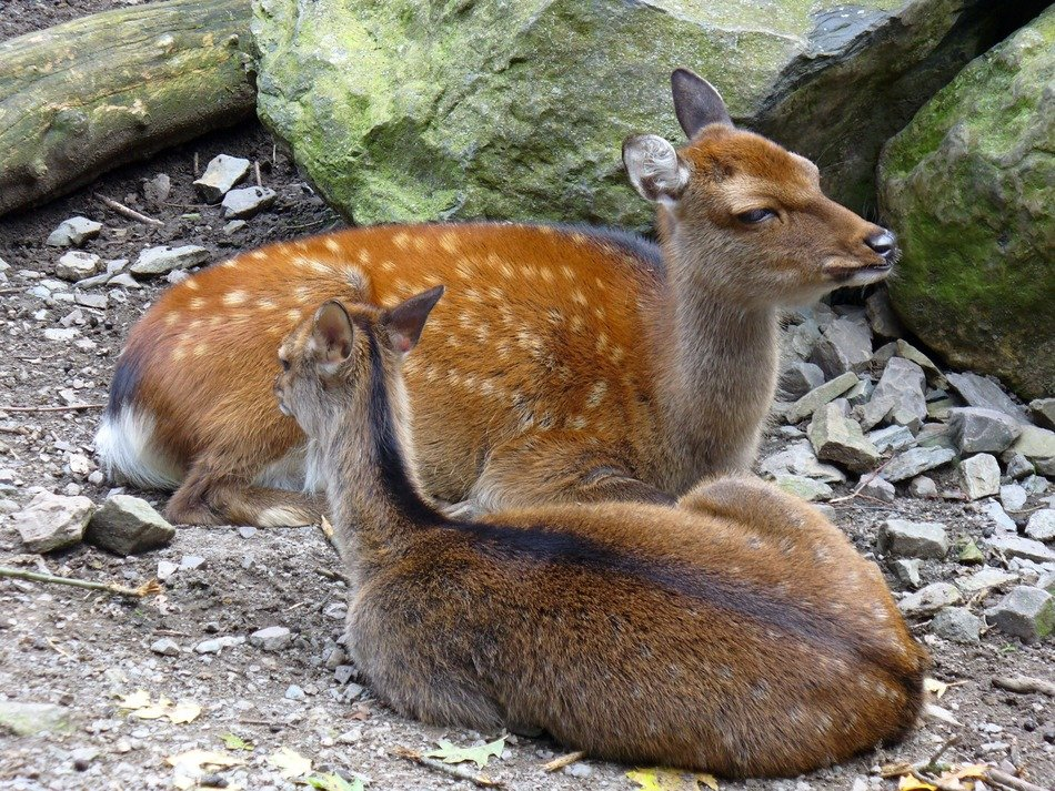 two young roe deer near the stones