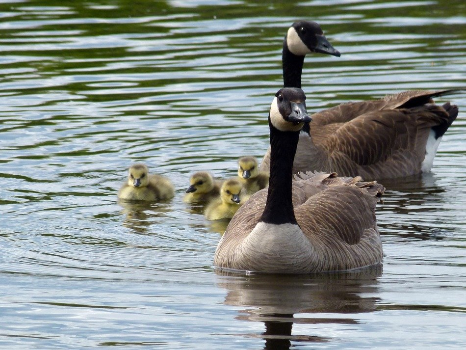 Canadian geese with offspring on the river