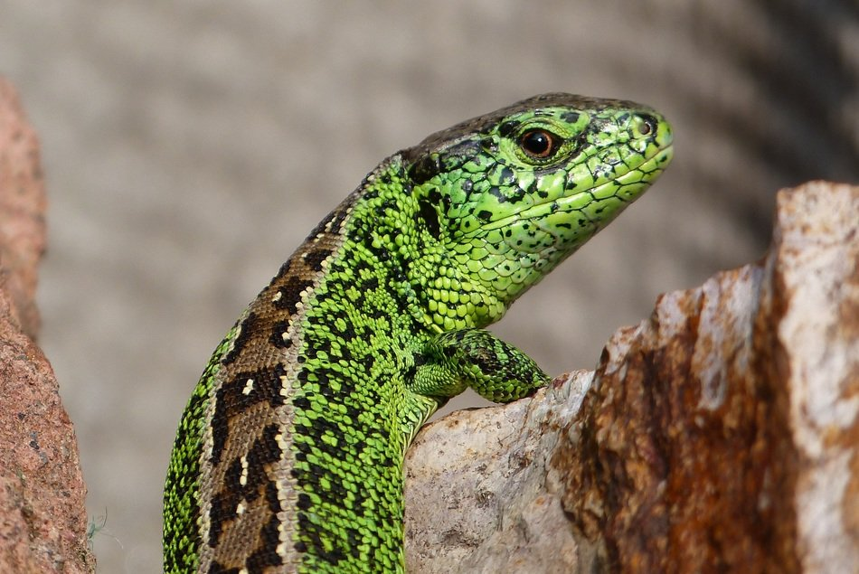 lizard with bright green sides