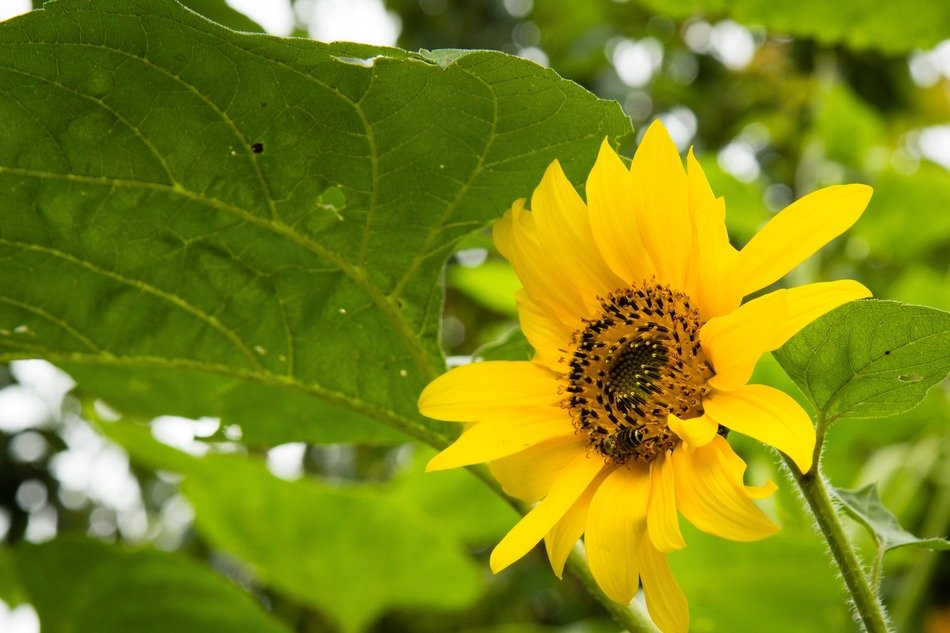very beautiful sunflower