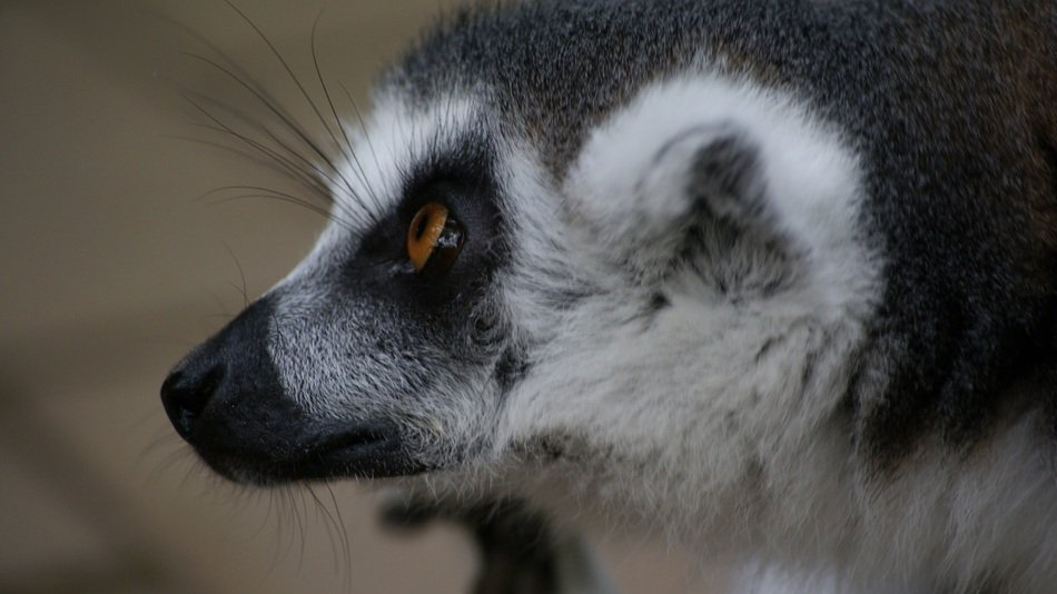 Head of a wild lemur close up