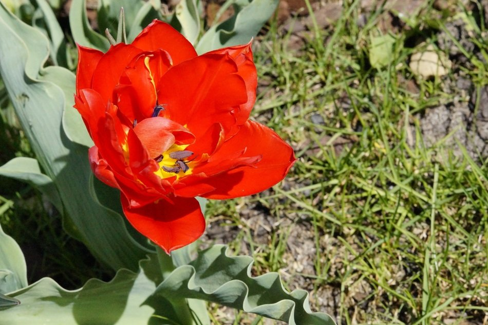 red tulip flower in spring