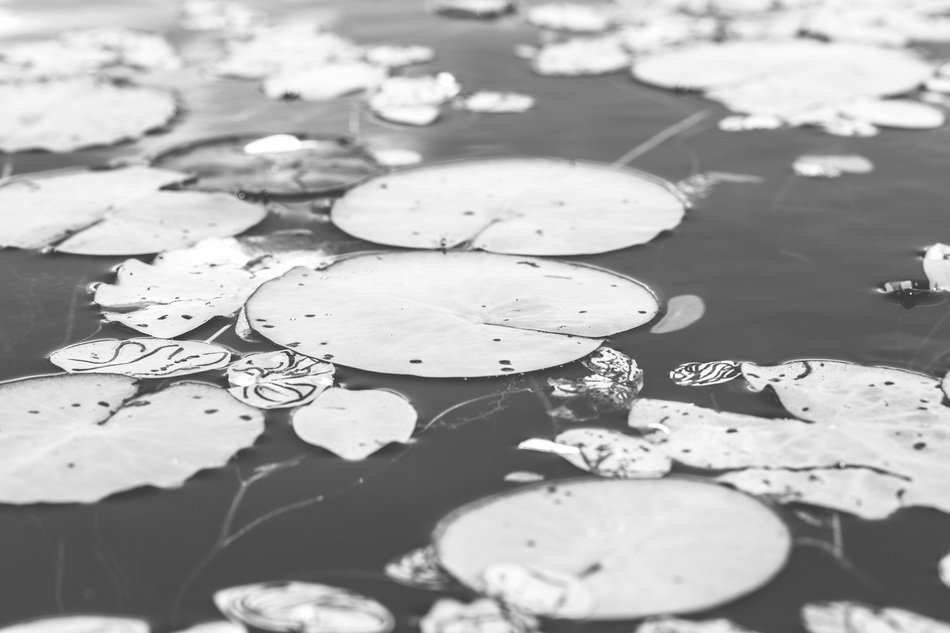 waterlilies in black and white