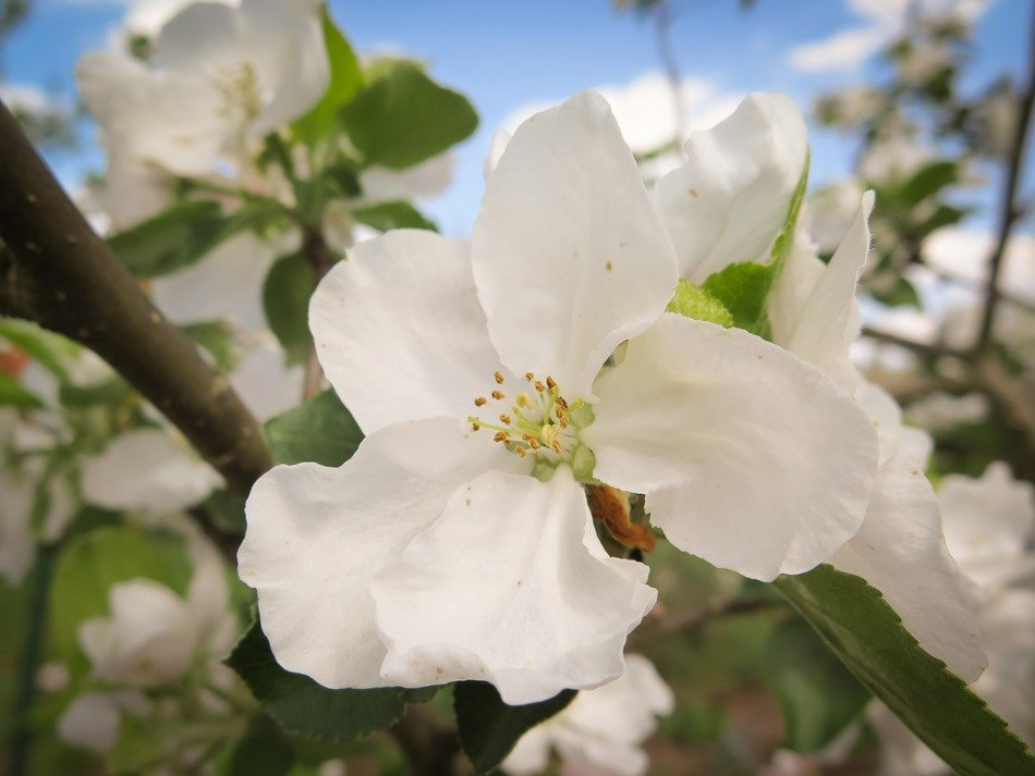 apple tree blossom in the spring