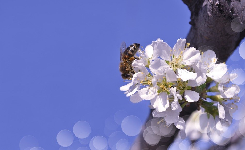 Bee on a branch with white flowers
