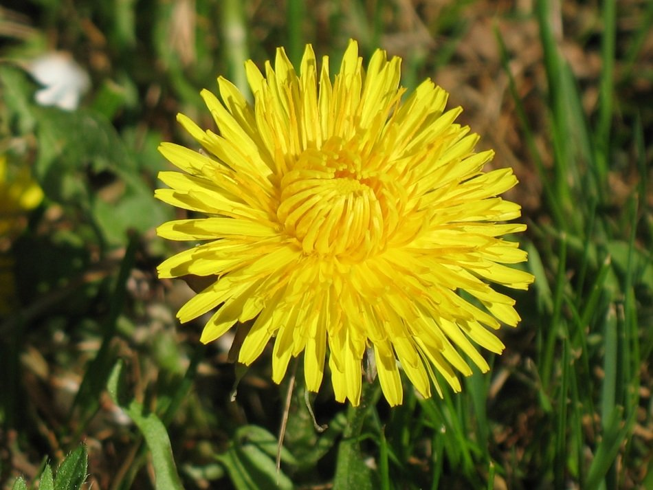 yellow young dandelion in a green meadow