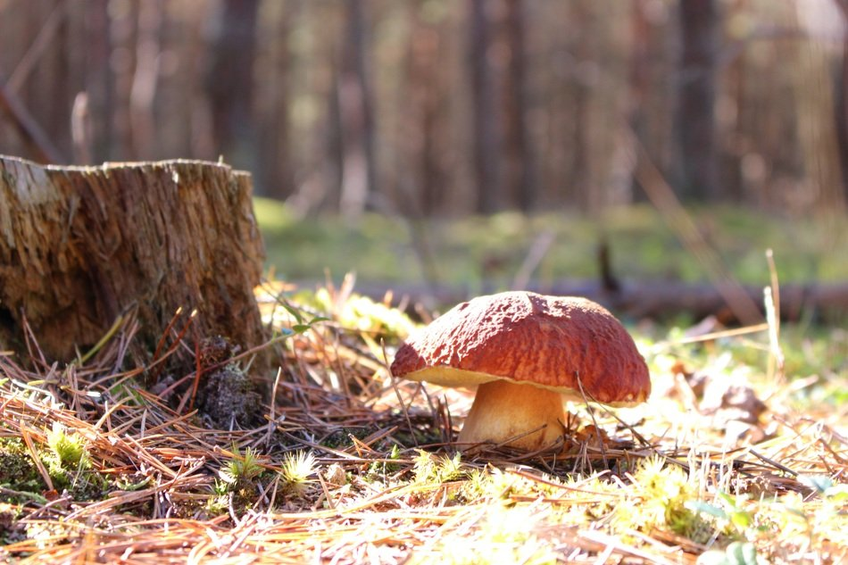 edible boletus in the forest