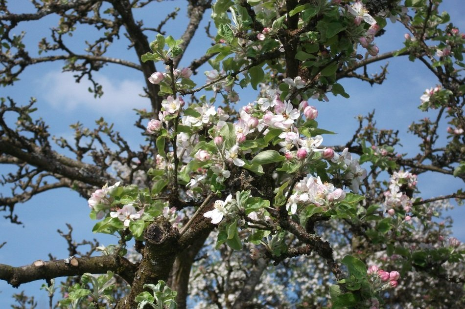 blossoms of apple tree at sky