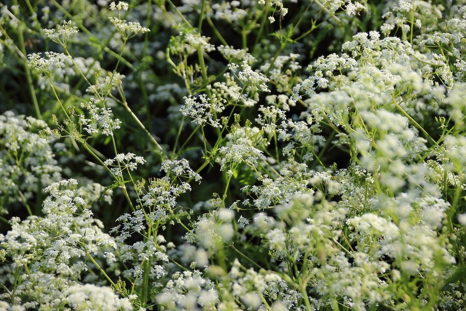 meadow of white yarrow flowers