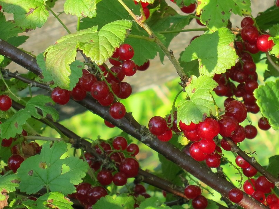 currant red berry