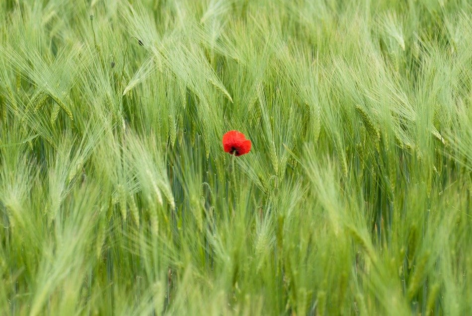 picture off the poppy blossom in a meadow