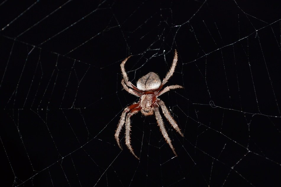 orb weaving spider on cobweb at darkness