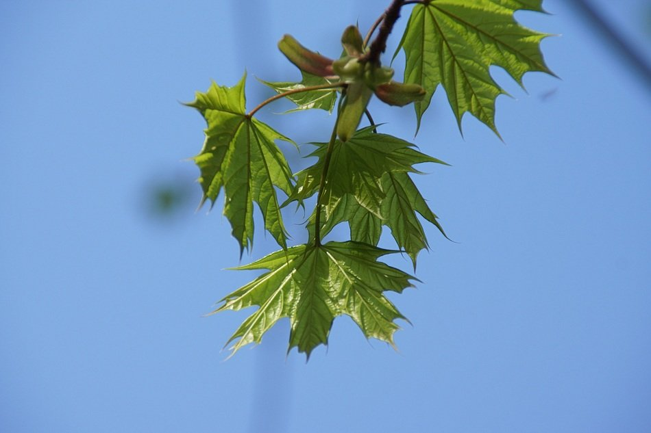 green maple fresh leaves young