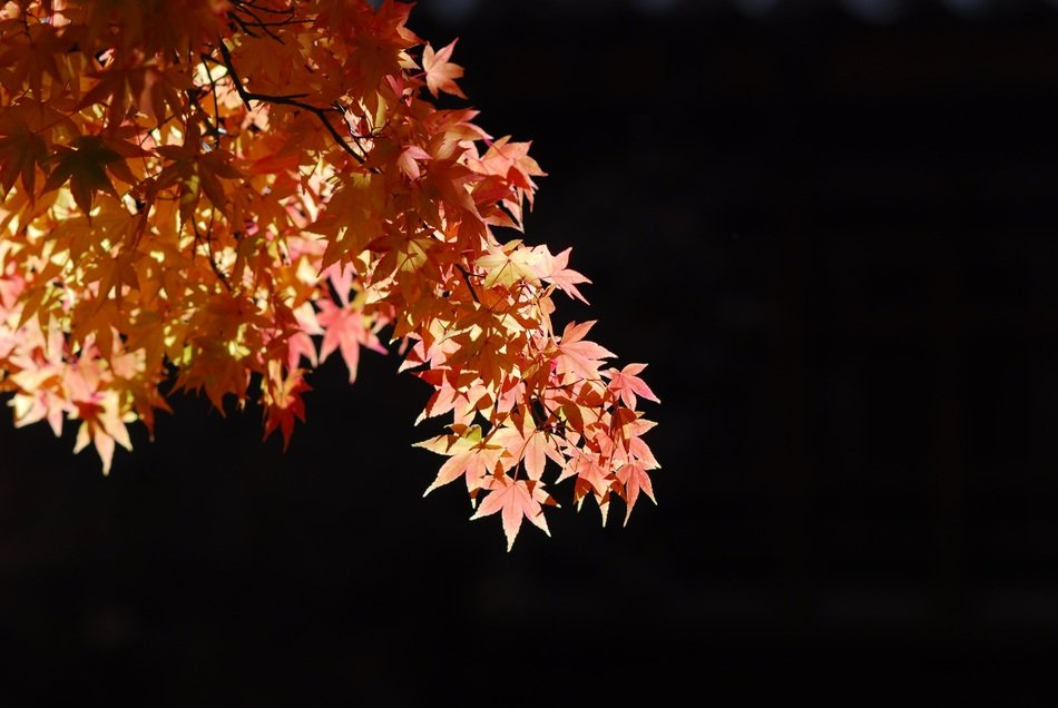 autumn maple tree on a black background