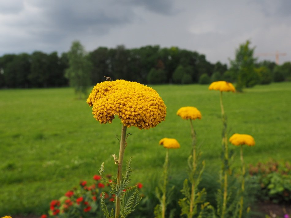 yarrow yellow flower blossom