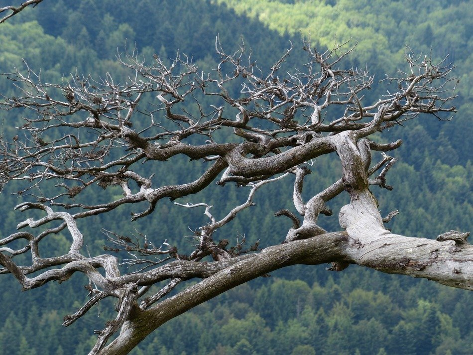 gnarled tree on a background of beautiful nature