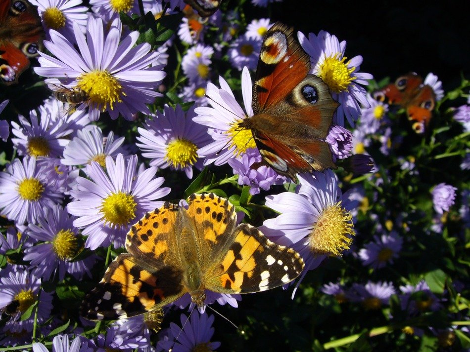 butterflies among a multitude of pale blue flowers