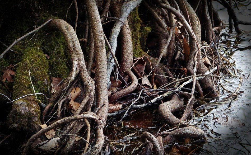 root thickets