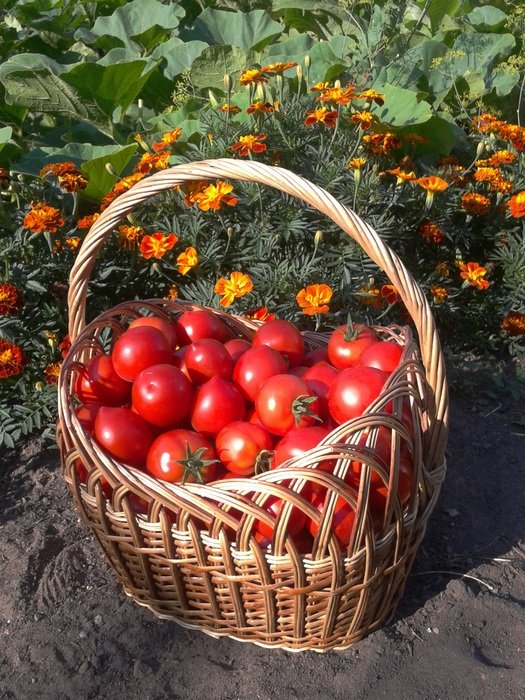 harvested tomatoes in the basket