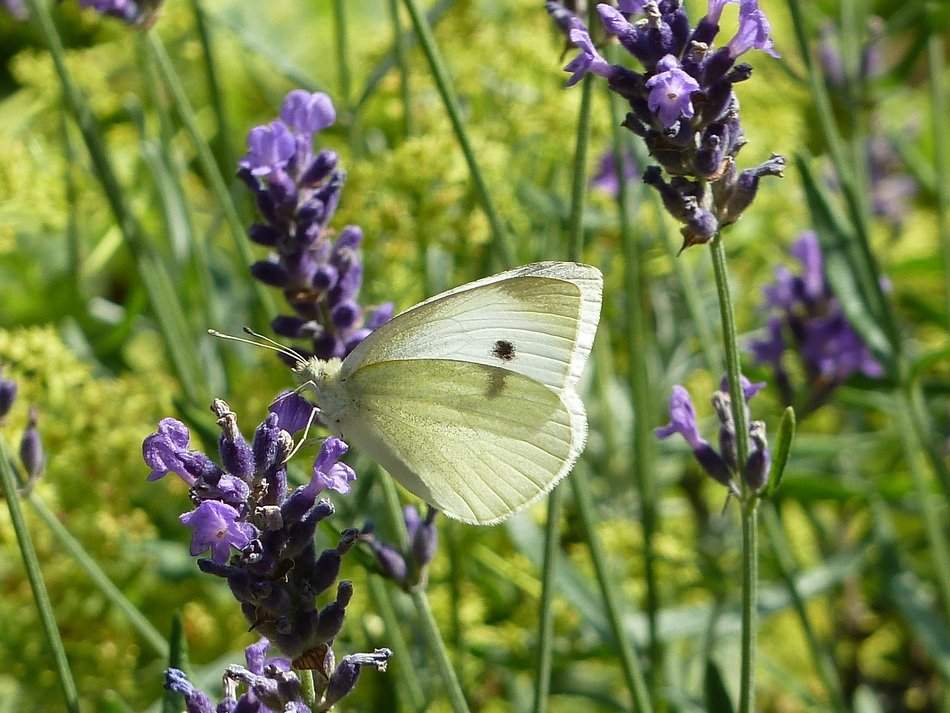 wild butterfly on the lavender