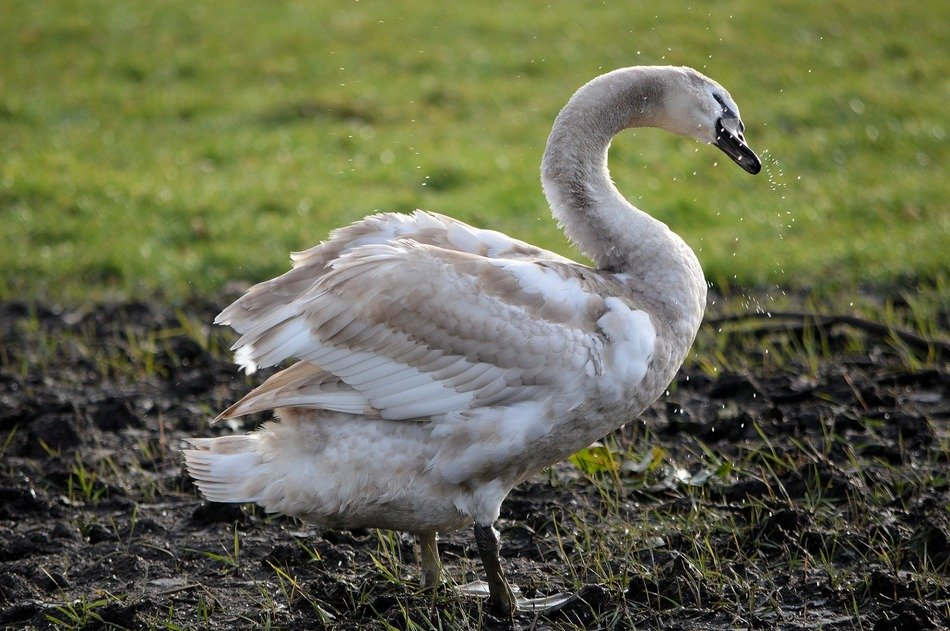 Grey and white swan