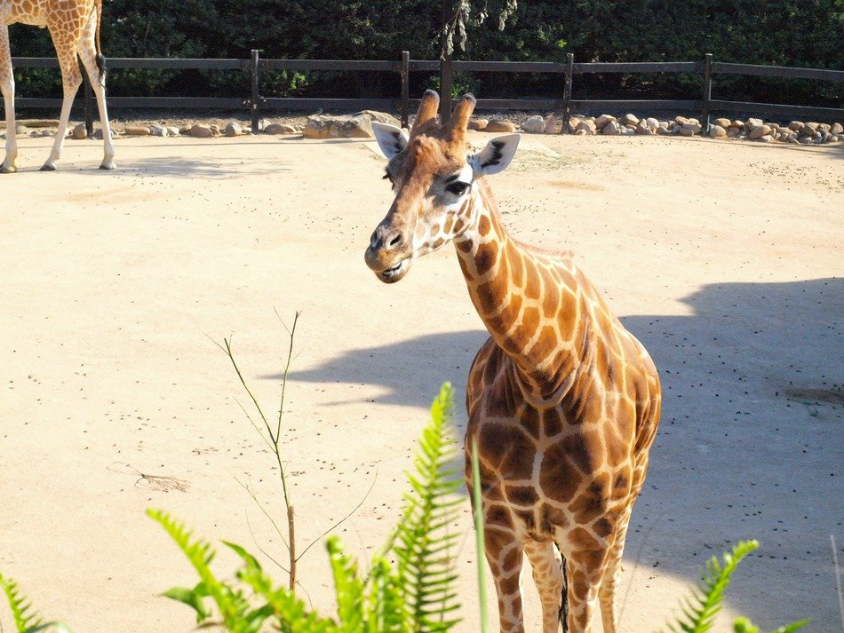 small giraffes in a wooden aviary