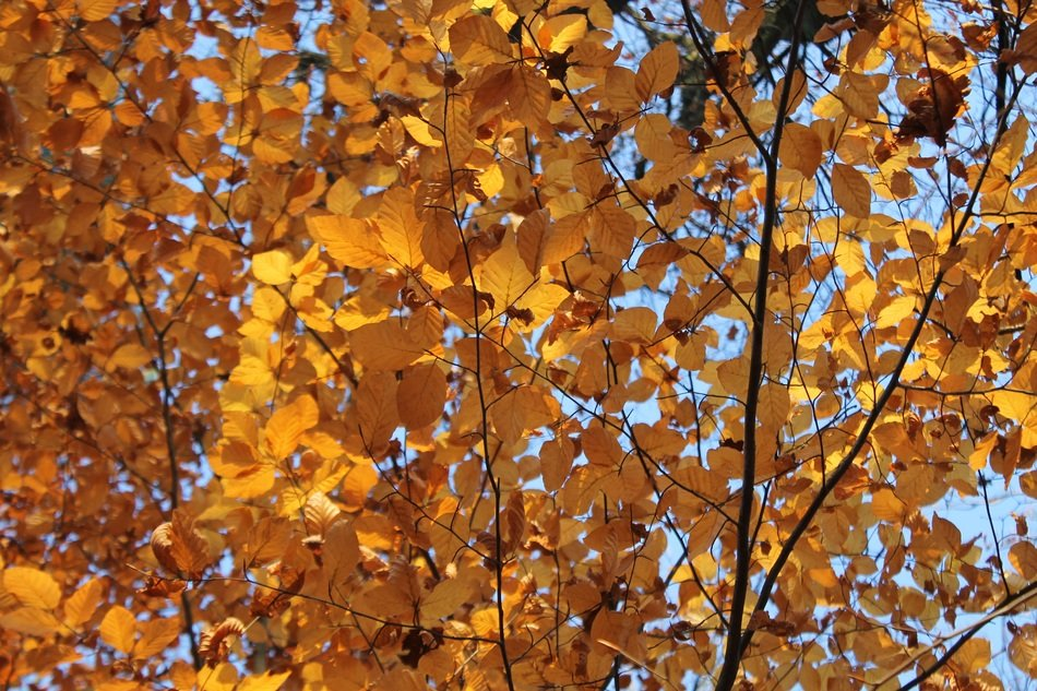Beech brown yellow autumn leaves