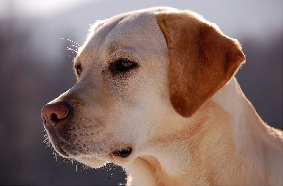 portrait of a yellow labrador