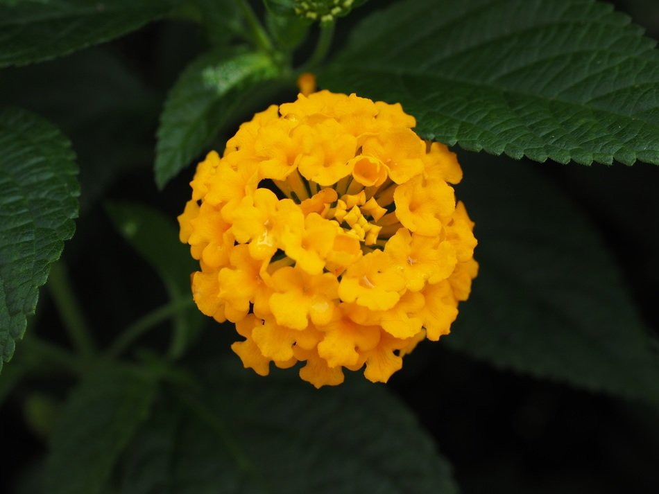 Yellow globular bloom of lantana