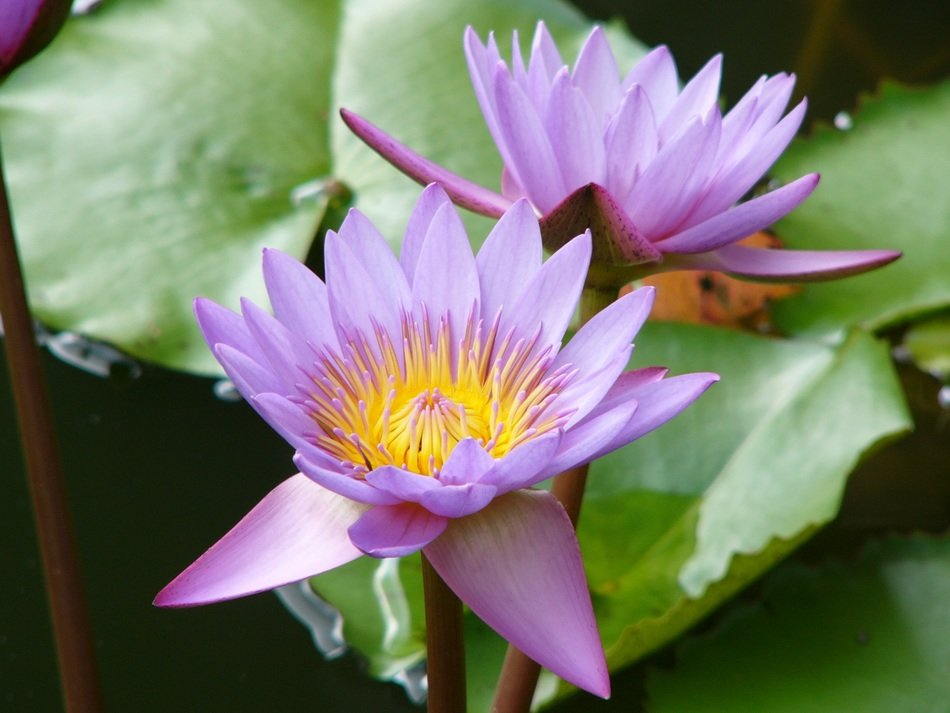 Picture of a lotus flowers
