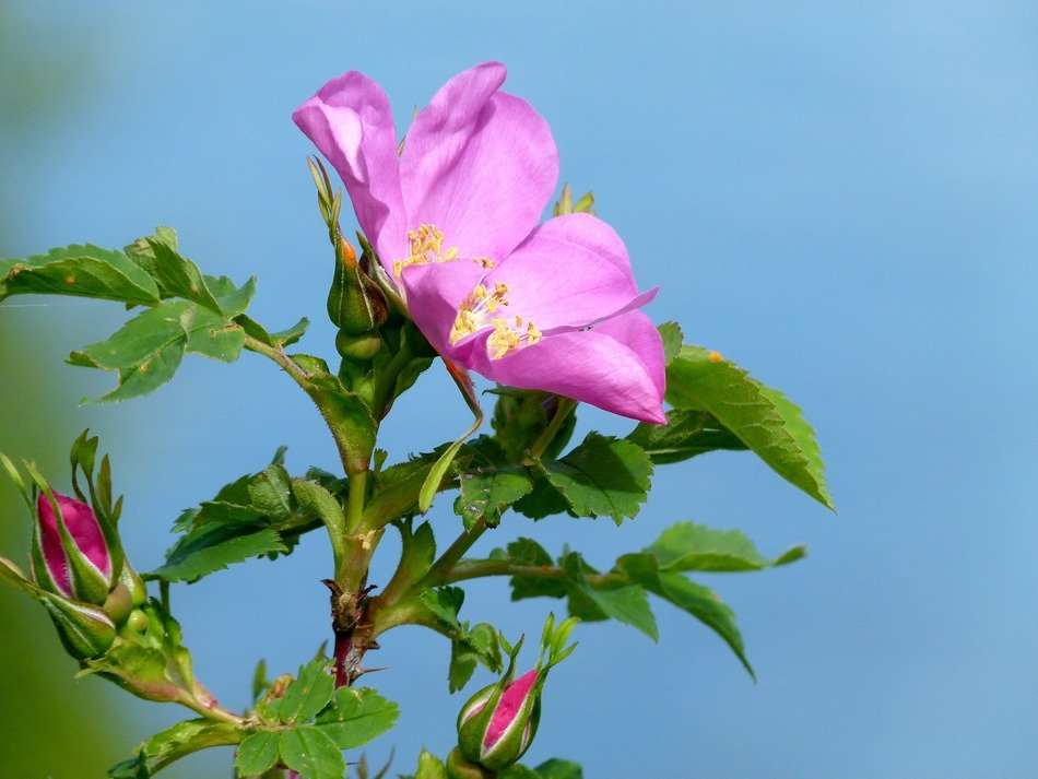 photo of pink wild rose plant