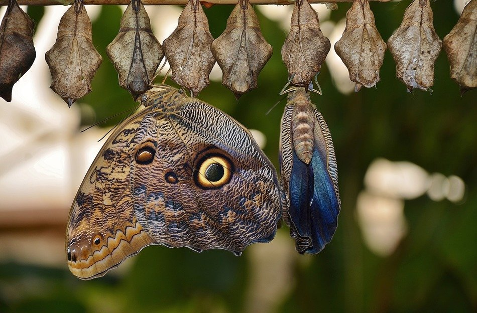cocoons with butterflies