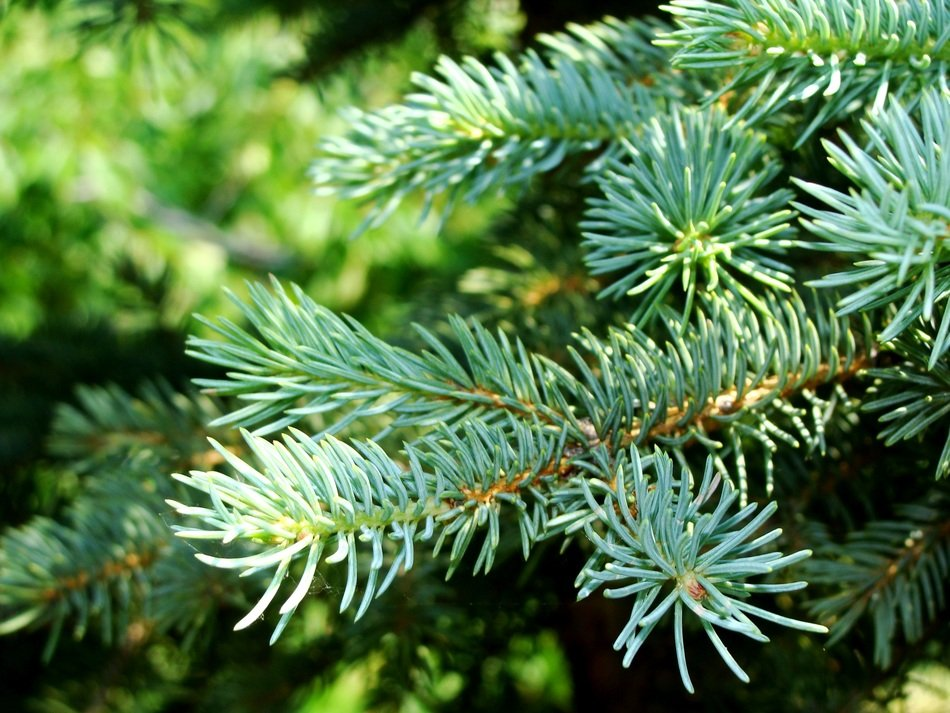 closeup photo of green juicy spruce branch