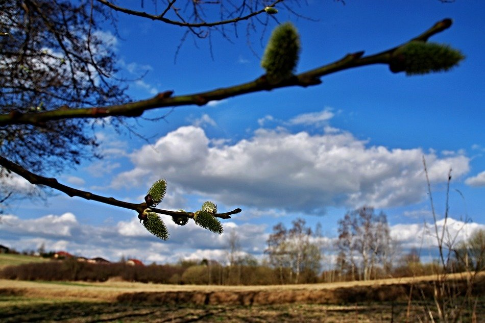 blooming willow branch on the background of the field